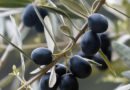 Два монахи та їхні оливкові дерева