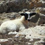 Загублена овечка
